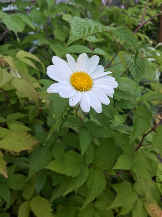 The True Beauty of an Acadian Daisy